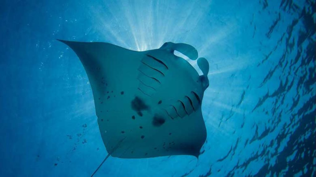 Majestic Mantas