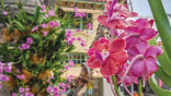 Lincoln Road blanketed with 500 native orchids