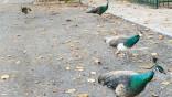 Miami looks to national model to humanely stifle peafowl