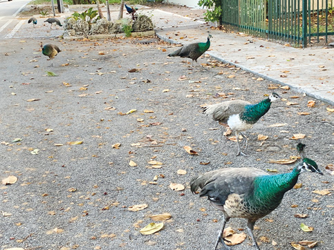 Miami looks to national model to humanely stifle peafowl
